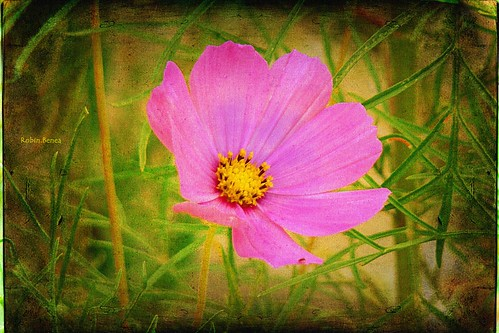 cosmos flower | by Robin.Benea