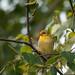 Goldfinch Camoflauge