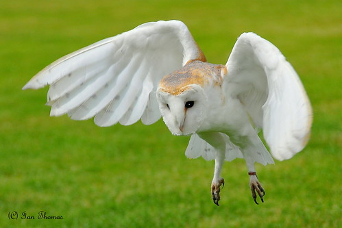 Barn Owl Hunting ... | by TopSausageLobber