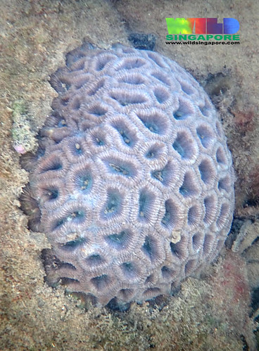 Oil-slicked Tanah Merah: Big ring favid coral (Family Faviidae) | by wildsingapore