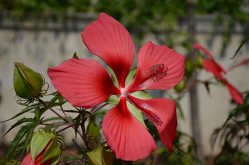 Scarlet Rosemallow | by Brooklyn Botanic Garden