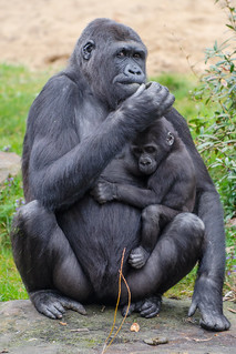 Gorilla with baby - Apenheul - Apeldoorn | by Ferdi's - World