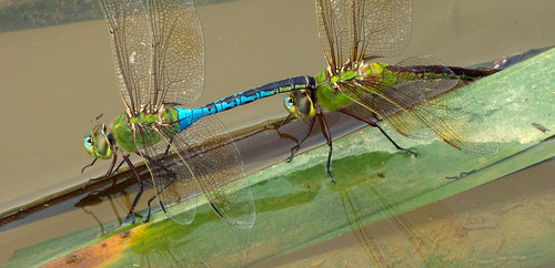 Common Green Darner dragonfly (mating pair, in tandem, ovi