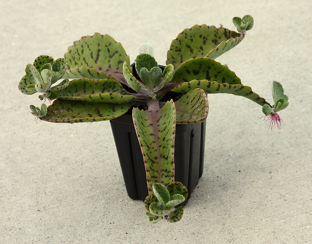 how to make a succulent from a big plant