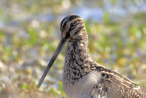African Snipe (Gallinago nigripennis) | by Ian N. White