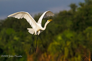 Ascending Great Egret | by bananaman33428