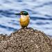 Sacred Kingfisher_5401.jpg