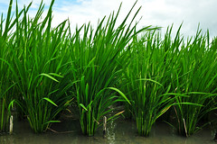 Rice with and without the PSTOL1 gene for phosphorous uptake - GN7_7969-1
