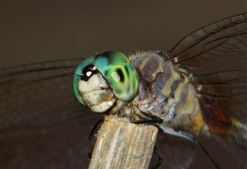 Dragonfly's Compound Eyes taken with a Canon SX130 IS H+2 IMG_7371 | by Ted_Roger_Karson