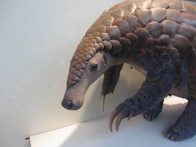 Giant ground pangolin   Flickr - Photo Sharing!
