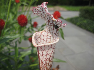 North American Pitcher Plant | by Brooklyn Botanic Garden
