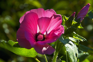 hollyhock in the morning Sun | by scorpion (13)