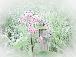 Joe_Pye Weed | by Christy Hibsch ( Christy's Creations on Facebook )