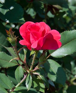 Rosa 'Radrazz' LG 8-16-12 2713 lo-res | by danceyoumonster