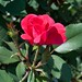 Rosa 'Radrazz' LG 8-16-12 2713 lo-res