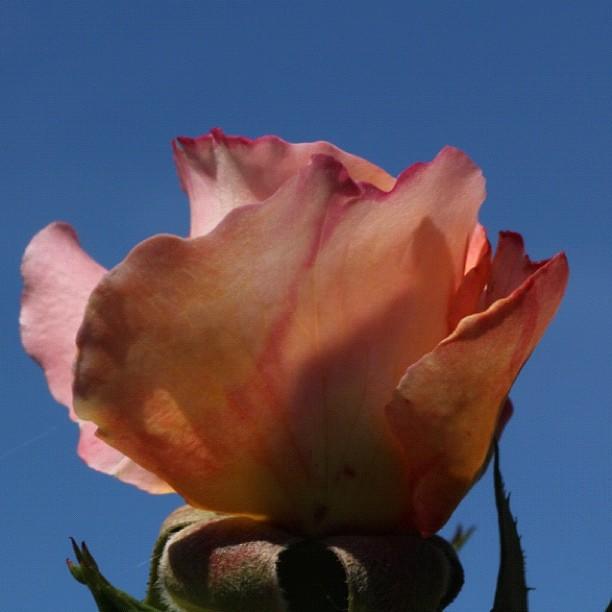 rose 39 westerland 39 gytha69 flickr. Black Bedroom Furniture Sets. Home Design Ideas