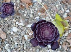 Desert florets