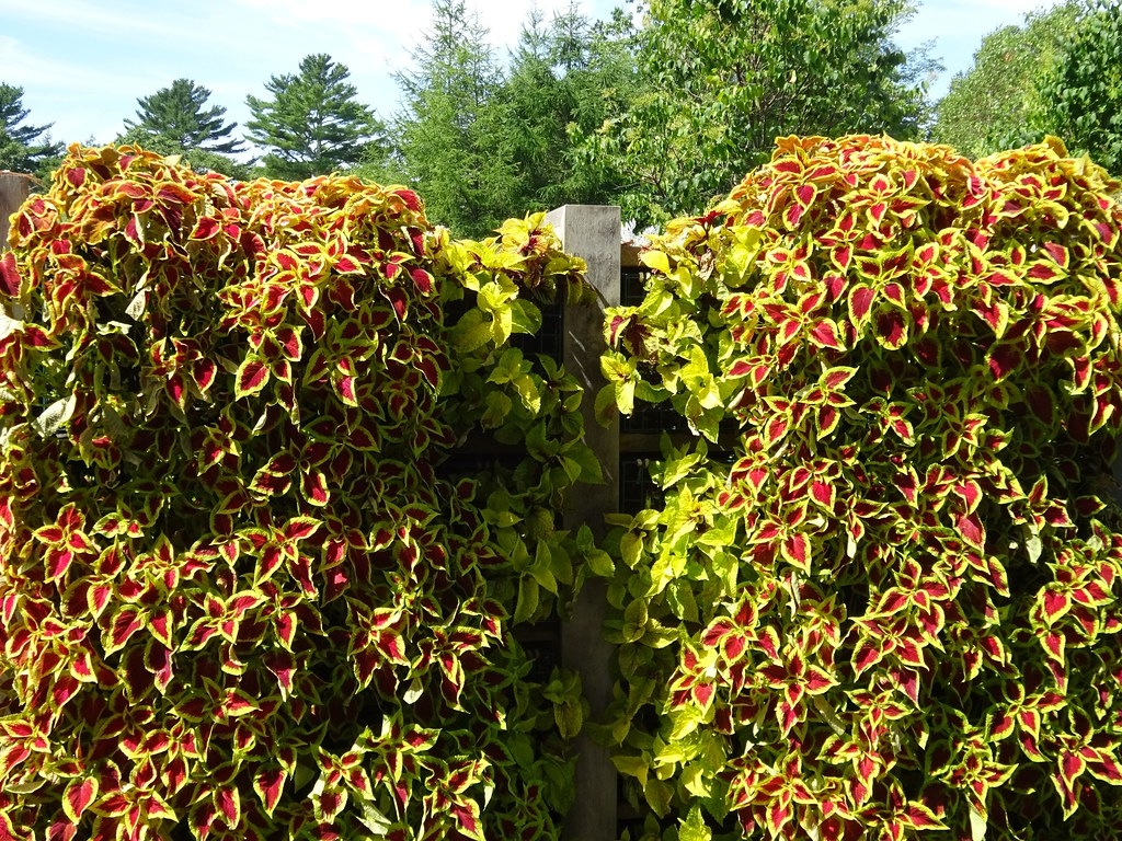 Genial ... Coleus As Vertical Garden | By Martin LaBar