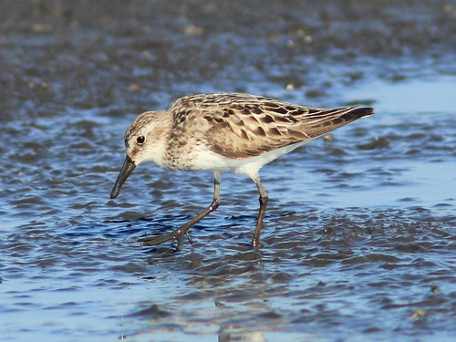 Semipalmated Sandpiper 2-20120717 | by Kenneth Cole Schneider