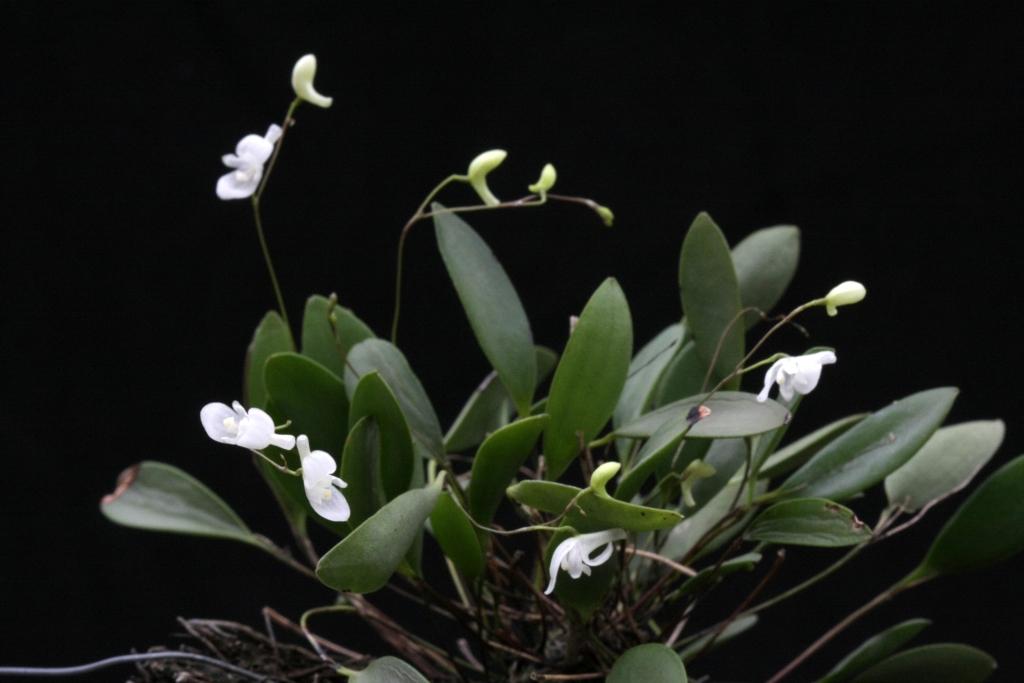 Resultado de imagem para Pabstiella mirabilis