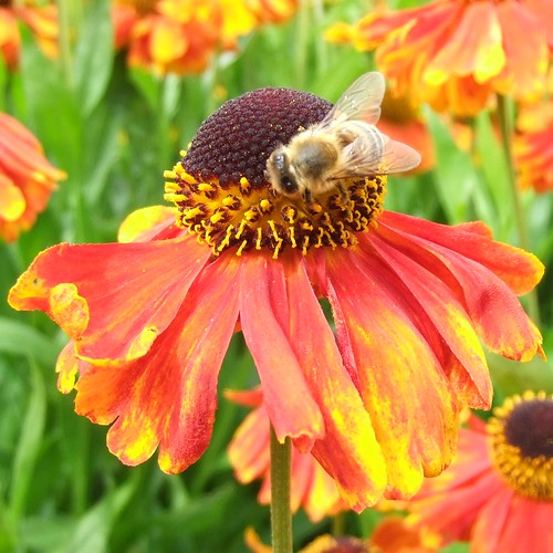 Honey Bee on Reddish Orange Helenium, Royal Botanic Gardens, KEW @ 21 July 2012 (P2 of 3) | by Kam Hong Leung – KEW Gardens_01