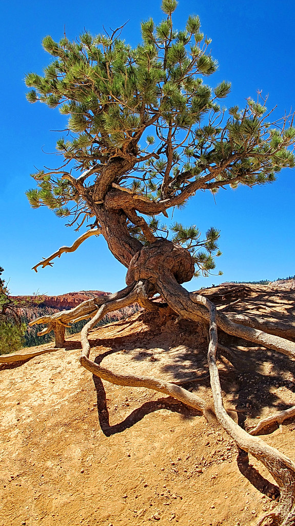 gnarled pine tree- Queens Garden Trail - Bryce Canyon Nati