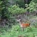 Mountain wildlife - deer