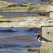 Oystercatcher and the old pier