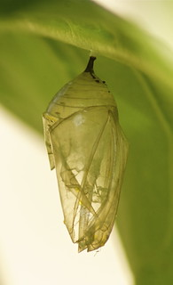 Monarch Butterfly Chrysalis ~ after | by Nancy A-T ~ obsessive gardener