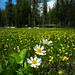 Marigold Trio in a field of buttercups