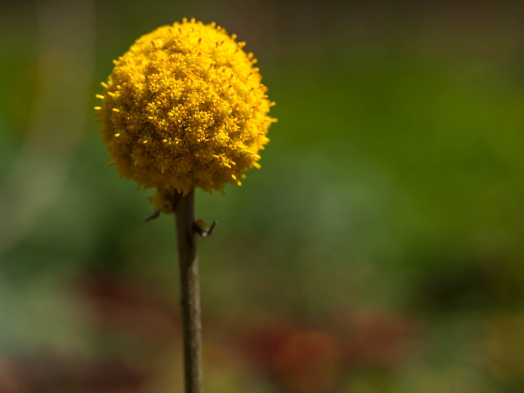 Billy Buttons Craspedia Globosa Yellow Globe Ball Flo Flickr