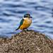 Sacred Kingfisher_5400.jpg