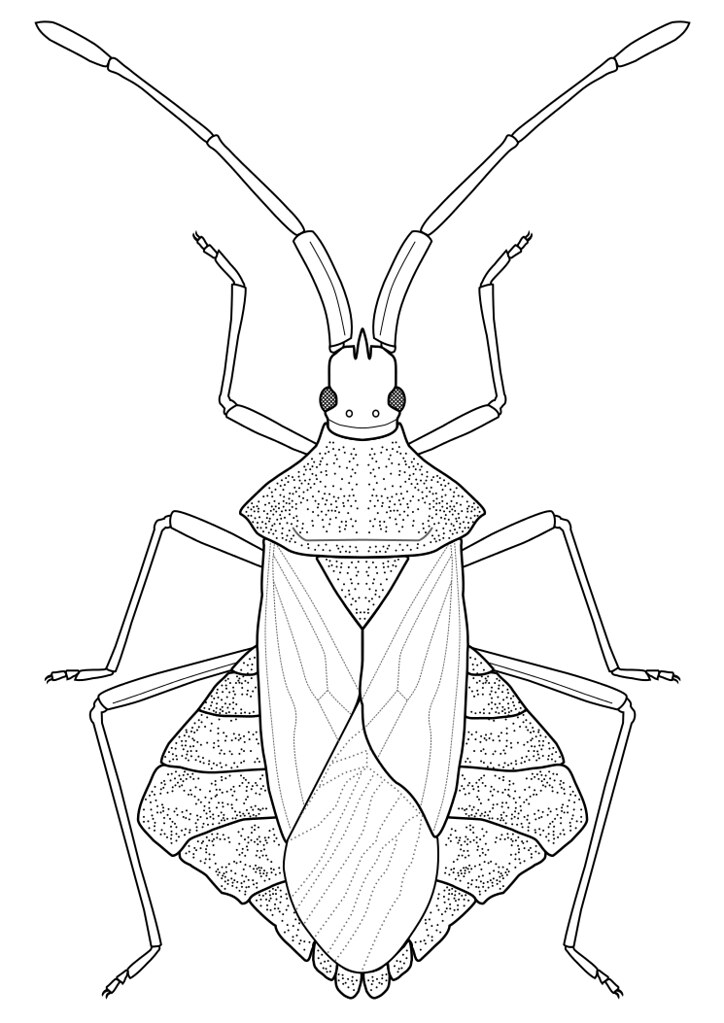 Drawing Lines With Inkscape : Syromastus rhombeus linnaeus an inkscape line