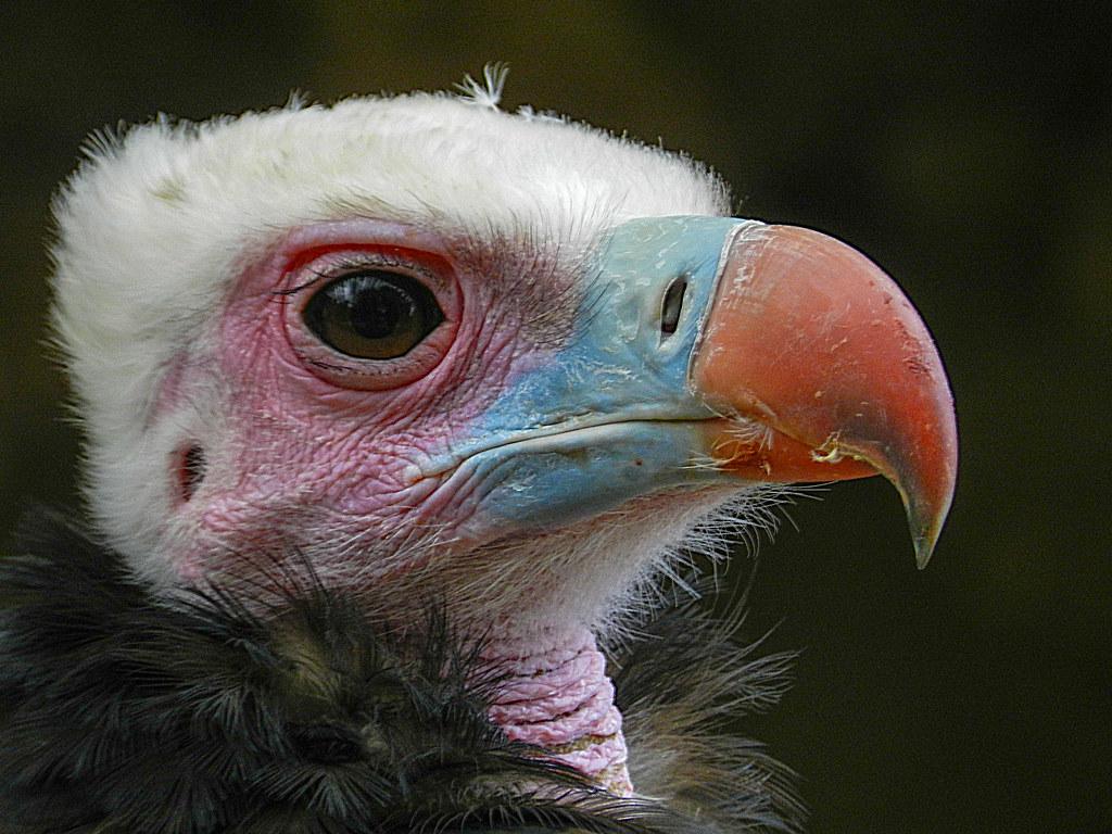 White headed vulture's eye | White headed vulture shot at ...