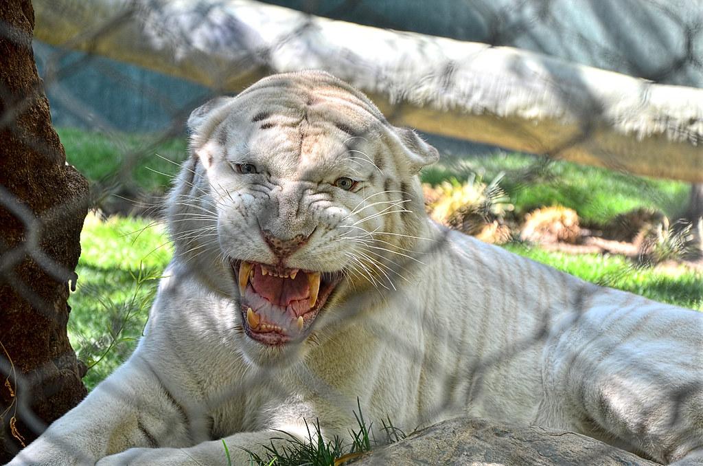 Snow White Siberian Tiger Apollo The Mirage Siegfrie Flickr