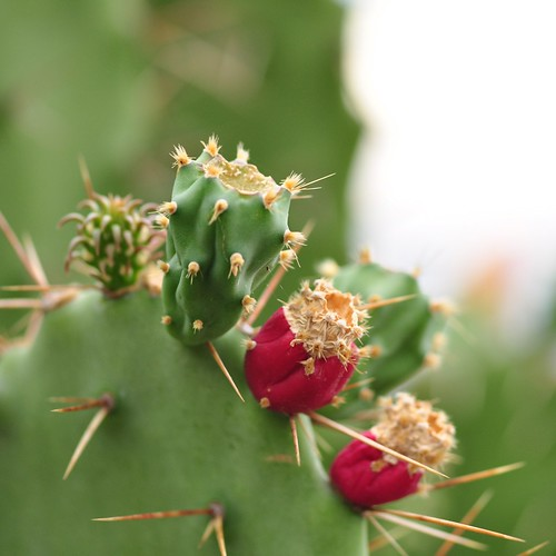 Prickly Pears | by pensierosimpatico
