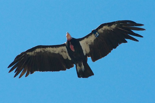 California Condor | by Brian Sims