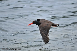 Black Oystercatcher DSC_3977 | by Ron Kube Photography