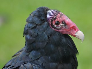 Turkey Vulture.-Cathartes aura | by Zooman2009