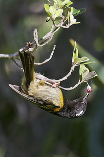 Hihi | by NZ Nature by Glenda Rees