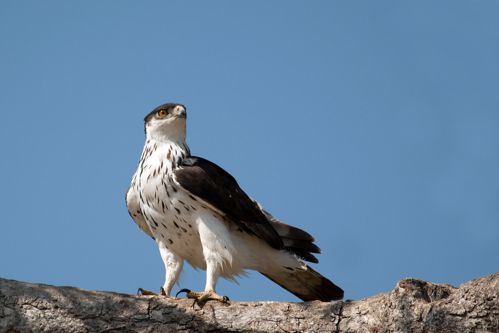 African Hawk Eagle - Aquila spilogaster | Chobe National ...