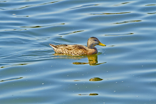 Duck in Lake Balboa | by Robert Jaros