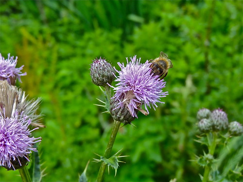 Thistle-Bee..... | by Irene's Daily Pics is now a Page on Facebook