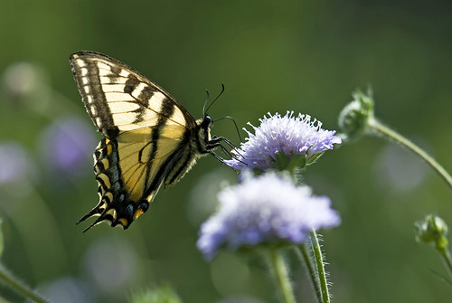Mountain Meadow Butterfly: The Elegant Swallowtail | by madlyinlovewithlife