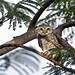 Spotted Owlet - Athene brama (1)