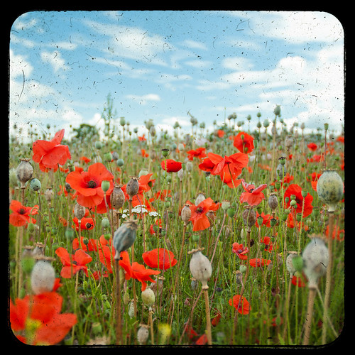 Poppies | by ben crump