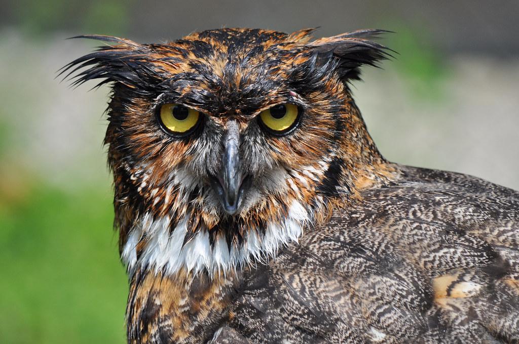 wet owl octavius  female great horned owl 1024 x 680 · jpeg