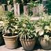 Short Plants
