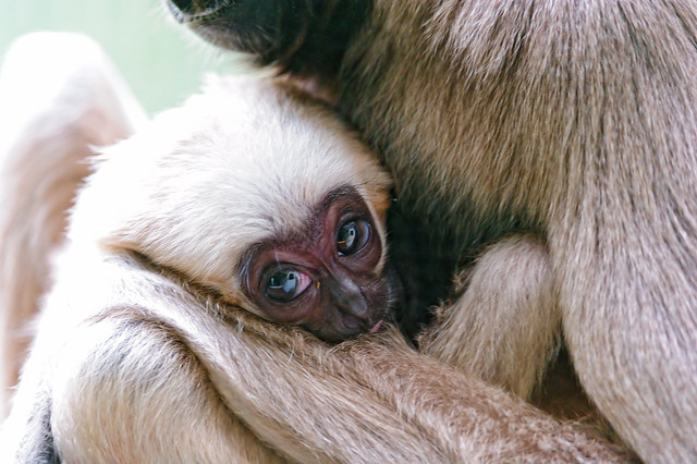 Baby gibbon with mother | Flickr - Photo Sharing!
