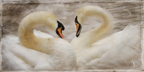 Swan Love.... | by Wire_cat